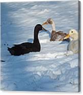 Snow Ducks Canvas Print