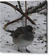 Snow Finch Canvas Print