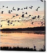 Snow Geese At Chincoteague Last Flight Of The Day Canvas Print