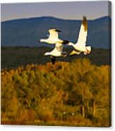 Snow Geese Flying In Fall Canvas Print