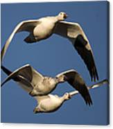 Snow Geese Flying Canvas Print