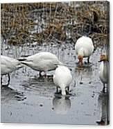 Snow Geese Muddy Waters Canvas Print