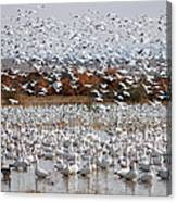 Snow Geese No.4 Canvas Print