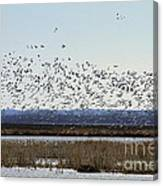 Snow Geese Taking Off At  Loess Bluffs National Wildlife Refuge Canvas Print