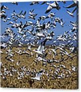 Snow Goose Flock Taking Off Canvas Print