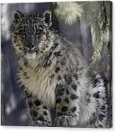 Snow Leopard 1 Canvas Print