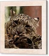 Snow Leopard 17 Canvas Print