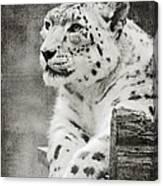 Snow Leopard 2 Canvas Print