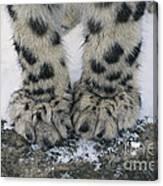 Snow Leopard Feet Canvas Print
