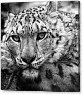 Snow Leopard In Black And White Canvas Print