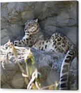 Snow Leopard    No.2 Canvas Print
