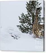 Snow Leopard Periscope Canvas Print