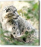 Snow Leopard Pose Canvas Print