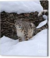 Snow Leopard Canvas Print