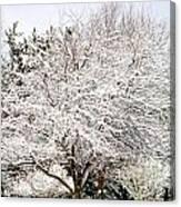 Snow Maple Canvas Print