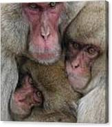 Snow Monkey And Young Canvas Print