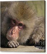 Snow Monkeys-just Hanging Out Canvas Print
