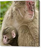 Snow Monkeys, Mother With Her Baby Canvas Print