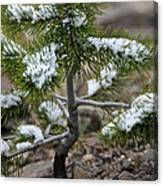 Snow On Baby Pine Tree In Yellowstone Canvas Print