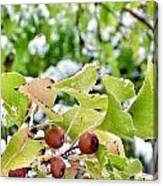 Snow On Green Leaves With Red Berries Canvas Print