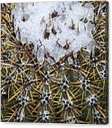 Snow On Top Of Small Saguaro Cactus Canvas Print
