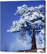 Snow Pine Canvas Print
