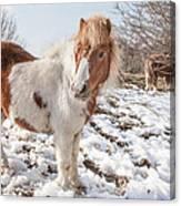 Snow Ponies - Colour Canvas Print