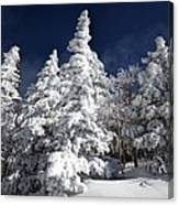 Snow Spruce Sunshine Canvas Print