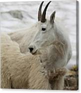 Snow White Mountain Goat Canvas Print