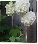 Snowball Flowers Canvas Print