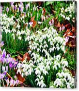Snowdrops And Crocuses Canvas Print