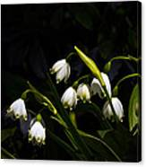 Snowdrops And Dark Background Canvas Print