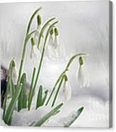 Snowdrops On Ice Canvas Print