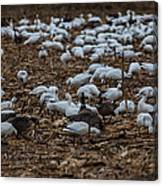 Snows And Aleutians Feeding Canvas Print