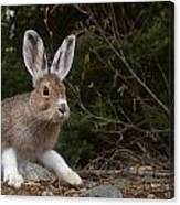 Snowshoe Hare Changing Colors Canvas Print