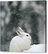 Snowshoe Hare In Snowfall Yellowstone Canvas Print