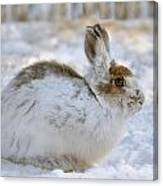 Snowshoe Hare In Winter Canvas Print