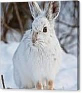 Snowshoe Hare Pictures 130 Canvas Print