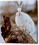 Snowshoe Hare Pictures 131 Canvas Print