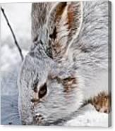 Snowshoe Hare Pictures 133 Canvas Print