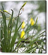 Snowy Daffodils Canvas Print