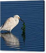 Snowy Egret Catches Sushi And Seaweed Canvas Print