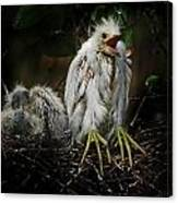 Snowy Egret Chick Canvas Print