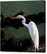 Great Egret Monterey Bay California  By Pat Hathaway Canvas Print