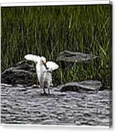 Snowy Egret Fishing Canvas Print