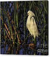 Snowy Egret In The Reeds Canvas Print