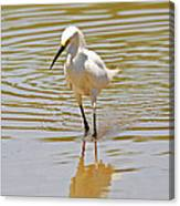 Snowy Egret Looking For Fish Canvas Print