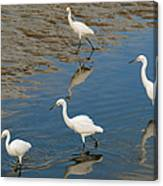 Snowy Egret Lunch Break Canvas Print