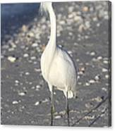 Snowy Egret Pose Canvas Print