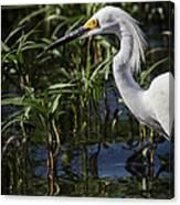 Snowy Egret Stalking Canvas Print